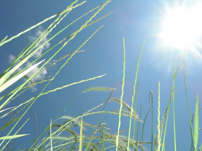 Looking up at clear blue skies through fresh wheat fields